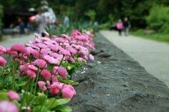 Fiori rosa in un letto di fiore di pietra immagine stock