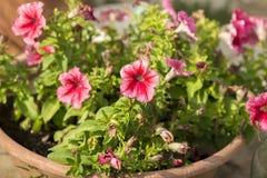 Fiori rosa in un vaso fotografie stock