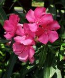 Fiori rosa vibranti dell'oleandro Immagini Stock Libere da Diritti