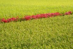 Fiori rossi allineati nel giacimento del riso fotografia stock libera da diritti