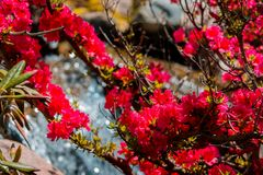 Fiori rossi che fioriscono su un cespuglio nei giardini giapponesi dalla cascata a Frederik Meijer Gardens immagini stock
