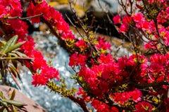Fiori rossi che fioriscono su un cespuglio nei giardini giapponesi dalla cascata a Frederik Meijer Gardens fotografie stock