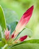 Fiori rossi chiari della fioritura Immagini Stock Libere da Diritti