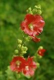 Fiori rossi con i fogli verdi Fotografia Stock Libera da Diritti