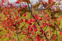 Fiori rossi con i semi gialli immagini stock libere da diritti