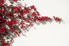 Fiori rossi contro la parete Fotografia Stock Libera da Diritti