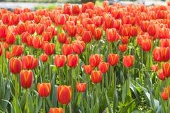 Fiori rossi dei tulipani Fotografie Stock