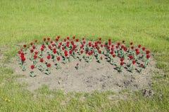 Fiori rossi dei tulipani su un letto di fiore Un letto di fiore con i tulipani Fotografia Stock