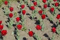 Fiori rossi dei tulipani su un letto di fiore Un letto di fiore con i tulipani Immagini Stock