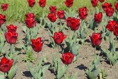 Fiori rossi dei tulipani su un letto di fiore Un letto di fiore con i tulipani Fotografie Stock Libere da Diritti