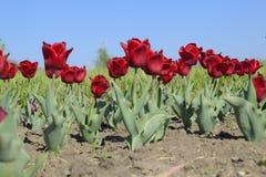 Fiori rossi dei tulipani su un letto di fiore Un letto di fiore con i tulipani Fotografie Stock
