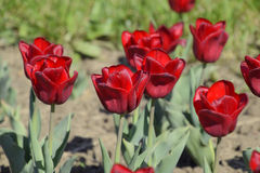 Fiori rossi dei tulipani su un letto di fiore Un letto di fiore con i tulipani Immagini Stock Libere da Diritti