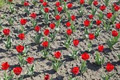 Fiori rossi dei tulipani su un letto di fiore Un letto di fiore con i tulipani Immagine Stock