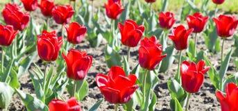 Fiori rossi dei tulipani su un letto di fiore Un letto di fiore con i tulipani Fotografia Stock Libera da Diritti