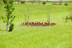 Fiori rossi dei tulipani su un letto di fiore Un letto di fiore con i tulipani Immagine Stock Libera da Diritti