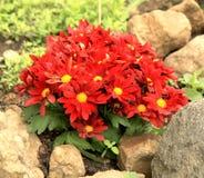 Fiori rossi del crisantemo Fotografia Stock Libera da Diritti