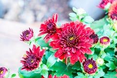Fiori rossi del crisantemo Immagine Stock