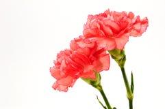 Fiori rossi del crisantemo isolati su bianco Fotografia Stock Libera da Diritti