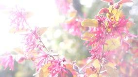 Fiori rossi del deserto di Acaciae del Loranthus Bello fiore nel vento nel giardino Luce vivida di Sun 4k, movimento lento archivi video