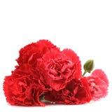 Fiori rossi del garofano fotografie stock libere da diritti