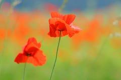 Fiori rossi del papavero Fotografia Stock Libera da Diritti