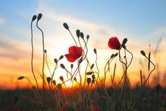 Fiori rossi del papavero al tramonto Fotografia Stock Libera da Diritti