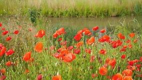 Fiori rossi del papavero che ondeggiano nel vento stock footage