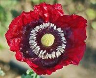 Fiori rossi del papavero del velluto Fotografia Stock