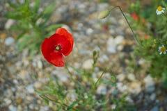 Fiori rossi del papavero Fiori e cielo blu del papavero nel vicino della Baviera Germania di Monaco di Baviera Immagine Stock Libera da Diritti