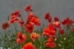 Fiori rossi del papavero Fiori e cielo blu del papavero nel vicino della Baviera Germania di Monaco di Baviera Fotografia Stock