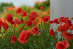 Fiori rossi del papavero Fiori e cielo blu del papavero nel vicino della Baviera Germania di Monaco di Baviera Fotografia Stock Libera da Diritti