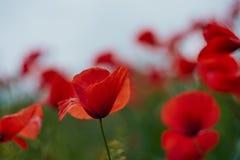 Fiori rossi del papavero Fiori e cielo blu del papavero nel vicino della Baviera Germania di Monaco di Baviera Immagini Stock Libere da Diritti