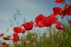 Fiori rossi del papavero Fiori e cielo blu del papavero nel vicino della Baviera Germania di Monaco di Baviera Fotografie Stock Libere da Diritti