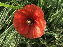 Fiori rossi del papavero in primavera immagini stock libere da diritti
