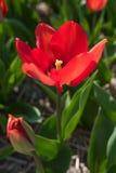 Fiori rossi del tulipano in primavera Immagini Stock