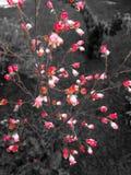 Fiori rossi delicati sui precedenti grigi Immagini Stock