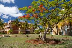 Fiori rossi dell'acacia nel giardino Fotografia Stock