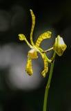 Fiori rossi dell'albero di pioggia Fotografia Stock Libera da Diritti