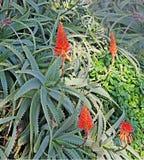 Fiori rossi dell'aloe Immagini Stock Libere da Diritti