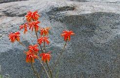 Fiori rossi dell'aloe con il fondo della roccia Immagini Stock