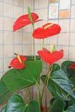 Fiori rossi dell'anturio Fotografia Stock