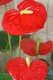 Fiori rossi dell'anturio fotografia stock libera da diritti