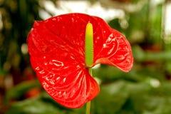 Fiori rossi dell'anturio della bella stanza del fiore Immagine Stock Libera da Diritti