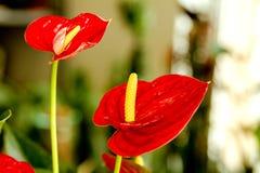 Fiori rossi dell'anturio della bella stanza del fiore Fotografie Stock Libere da Diritti