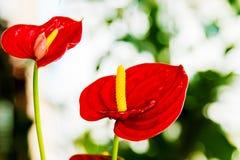 Fiori rossi dell'anturio della bella stanza del fiore Fotografia Stock Libera da Diritti