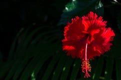 Fiori rossi dell'ibisco con polline sul fondo verde scuro delle foglie immagini stock