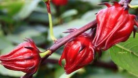 Fiori rossi dell'ibisco nel giardino video d archivio