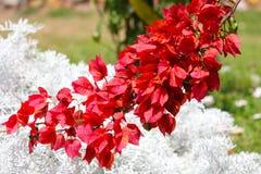 Fiori rossi della buganvillea sopra fogliame bianco Fotografia Stock