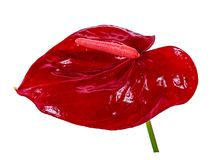 Fiori rossi della calla su un fondo bianco immagine stock libera da diritti