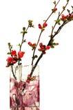 Fiori rossi della cotogna giapponese Fotografia Stock